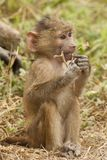 Olive Baboon Cub Stock Photo