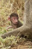 Olive Baboon Cub Royalty Free Stock Photos
