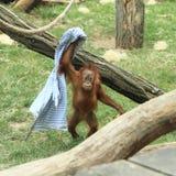 Cub of orang-utan Stock Photography