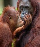 The cub of the orangutan kisses mum. Stock Photo