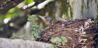Cub of the pale-breasted thrush  in the nest Stock Photography