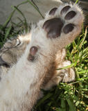 Cub paws Stock Photography