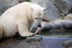 Cub Polar Bear. Eating Royalty Free Stock Images