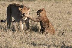 Cub que da una palmada a la leona Fotografía de archivo libre de regalías