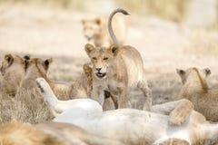 Cub que joga no grande leão orgulha-se no savana Imagens de Stock Royalty Free