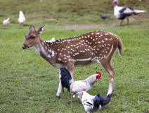 Cub of a Reindeer fawn and chicken.  Royalty Free Stock Photos