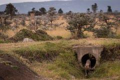 Cub sale del tubo concreto guardado por el guepardo imagen de archivo libre de regalías
