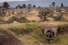 Cub se coloca en el tubo guardado por el guepardo fotografía de archivo