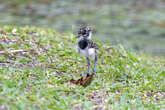 Cub of Southern lapwing Royalty Free Stock Photography