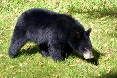 CUB-Suchen des Amerikanischen Schwarzbären stockbilder