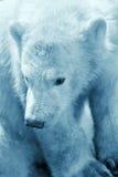 Cub sveglio dell'orso polare Fotografie Stock