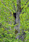 Cub in a Tree Stock Photos