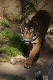 cub tygrysa Fotografia Royalty Free