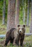 Cub Ursus Arctos бурого медведя в лесе лета Стоковое Изображение RF