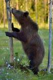 Cub Ursus Arctos бурого медведя стоя на помешанных ногах Стоковые Фотографии RF