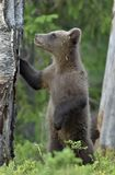Cub Ursus Arctos Arctos бурого медведя Стоковая Фотография