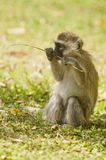 Cub of Vervet Monkey Stock Photo