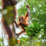 CUB von Bornean-Orang-Utan auf dem Baum in einem natürlichen Lebensraum Stockfotografie