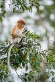 CUB von Nasenaffe Nasalis larvatus auf dem Baum in einem natürlichen Lebensraum Langnasiger Affe Regenwald von Insel Borneo Indon Lizenzfreies Stockbild