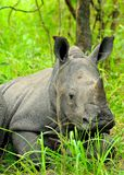 Cub white rhino. A baby white rhino resting in the bush with his mother Royalty Free Stock Photos