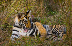The cub wild tiger lying on the grass. India. Bandhavgarh National Park. Madhya Pradesh. Royalty Free Stock Photos