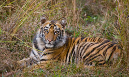 The cub wild tiger lying on the grass. India. Bandhavgarh National Park. Madhya Pradesh. Royalty Free Stock Photography
