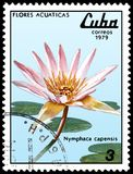 CUBA - CIRCA 1979: A stamp, printed in Cuba, shows a Nymphaea capensis, series water lilies Stock Images