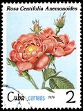 CUBA - CIRCA 1979: A stamp, printed in the Cuba, shows a rose centifolia anemonoides, series roses. CUBA - CIRCA 1979: A postage stamp, printed in the Cuba Royalty Free Stock Photo