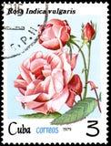 CUBA - CIRCA 1979: Un bollo, stampato in Cuba, mostra ad una Rosa vulgaris indica, rose di serie illustrazione vettoriale