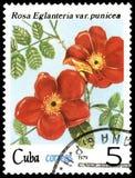 CUBA - CIRCA 1979: Un bollo, stampato in Cuba, mostra un eglanteria varietà della rosa punicea, rose di serie illustrazione vettoriale