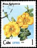 CUBA - CIRCA 1979: Un bollo, stampato in Cuba, mostra Rose Eglanteria, rose di serie illustrazione vettoriale