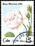 CUBA - CIRCA 1979: Un bollo, stampato in Cuba, mostra Rose Muscosa alba, rose di serie illustrazione vettoriale