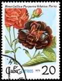 CUBA - CIRCA 1979: Un bollo, stampato in Cuba, mostra un velutina di purpurea di gallica della rosa, il parva, rose di serie illustrazione vettoriale