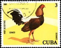 CUBA - CIRCA 1981: Un sello impreso por Cuba muestra el gallo Cenizo Imagenes de archivo