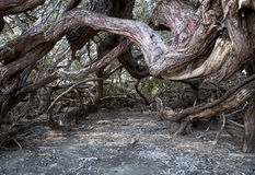 cuba gammal tree Arkivfoto