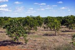 cuba Grades des arbres oranges sur une plantation image libre de droits