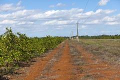 cuba Grades des arbres oranges sur une plantation photo stock