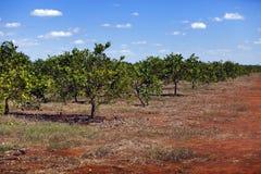 cuba Grades des arbres oranges sur une plantation image stock