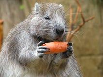 Cuba Hutia (roedor) Imagem de Stock