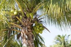 cuba karaibski kokosowy drzewko palmowe Zdjęcia Stock