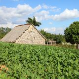 Cuba tobacco plantation Stock Photography