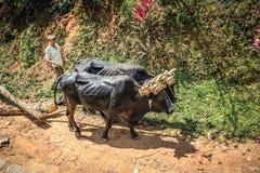 Cubaanse boer met twee stieren stock afbeelding