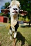 Cubaanse geit Stock Afbeeldingen