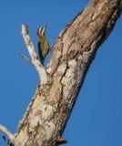 Cubaanse Groene Specht die op een boom beklimmen Stock Foto