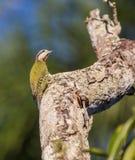 Cubaanse Groene Specht die op een boom beklimmen Stock Fotografie