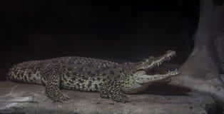 Cubaanse krokodil stock fotografie