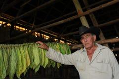 Cubaanse landbouwer die zijn drogende tabaccobladeren in Vinales tonen | Kuba royalty-vrije stock afbeeldingen