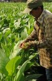 Cubaanse landbouwer die zijn tabacco-installaties in Vinales controleren stock foto's