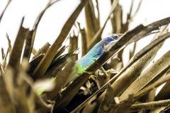 Cubaanse mannelijke die hagedis Allison ` s Anole, ook als blauw-geleid wordt bekend anole - Varadero, Cuba Stock Foto's