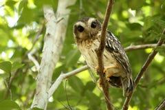 Cubaanse pygmy uilzitting op een boom in het bosclose-upportret Royalty-vrije Stock Fotografie